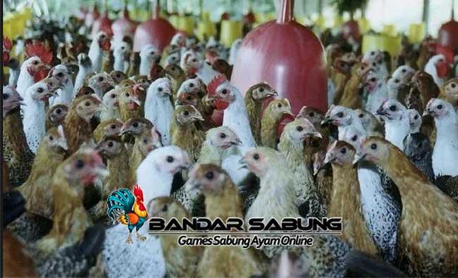 Cara Membuat Probiotik Alami untuk Pakan Ternak Ayam Aduan