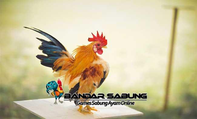 Tips Cara Mudah Ternak Ayam Serama Super
