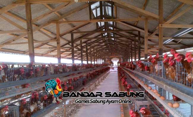 Kendala Dalam Usaha Ternak Ayam Petelur