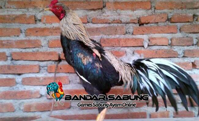 Keunggulan Rahasia Ayam Aduan Siam