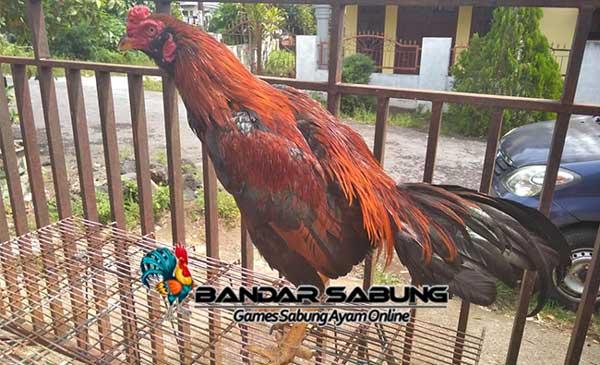 Mengenal Lebih Dalam Ayam Pama