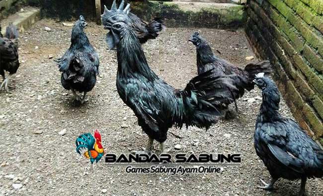 Cara Beternak Ayam Cemani