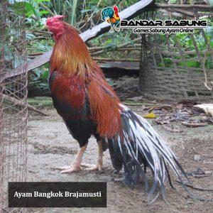 Ayam-bangkok-Brajamusti