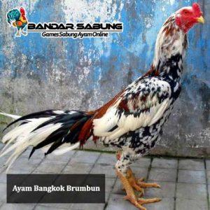 Ayam-bangkok-Brumbun