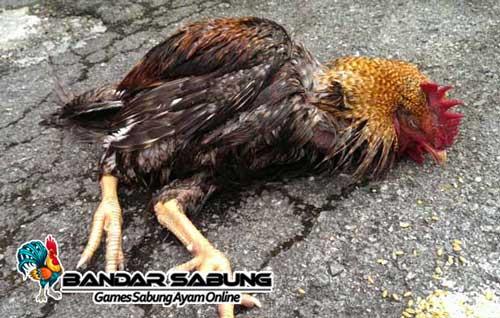 Tips Untuk Mengatasi Penyakit Pada Ayam Beserta Cirinya