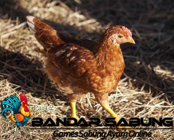 10 Cara Mengatasi Mental Ayam Muda Part 2
