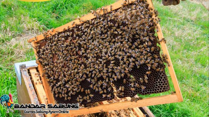 Tips Proses Budidaya Lebah Madu untuk Pakan Ayam Aduan