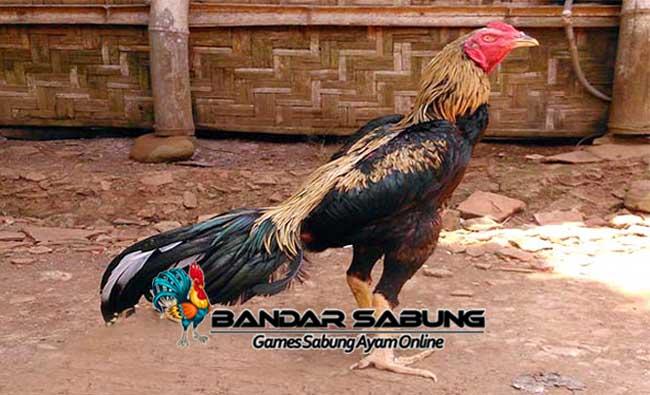 Faktor Pendukung Stamina Ayam Bangkok Juara - Sabung Ayam Online