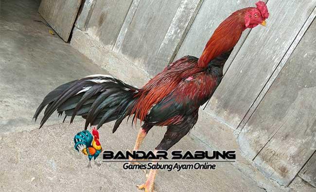 Mengenal Jenis Ayam Siam