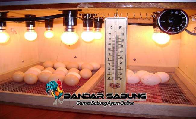 Cara membuat Inkubator Ayam