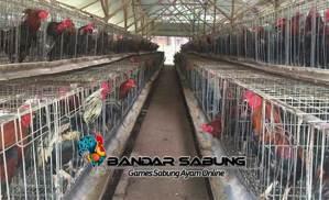Alasan Mengapa Usaha Ternak Ayam Bangkok sangat Menggiurkan