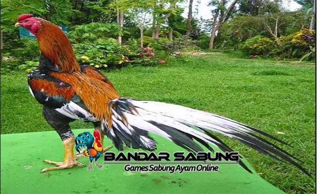 Cara Mengobati Luka Memar Pada Ayam Bangkok