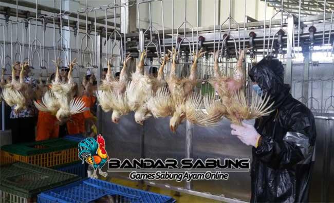 Kriteria Lokasi dan Lahan untuk Ternak Ayam Broiler