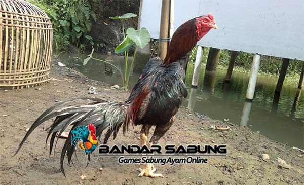 Sejarah Perkembangan Ayam Birma