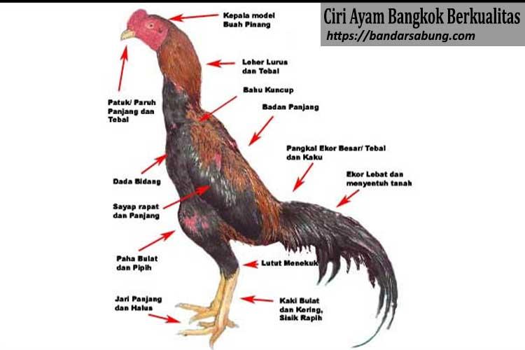 Ciri Ayam Bangkok Berkualitas