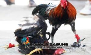 Cara Melatih Ayam Petarung Agar Agresif Saat Di Adu