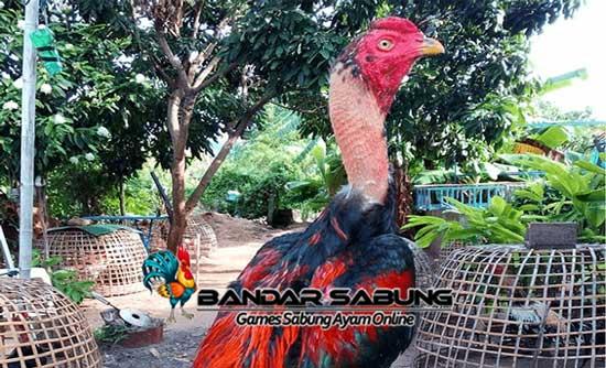 Jenis Ayam Ganoi Yang Berasal Dari Vietnam