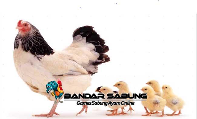 Tips Memberikan Makanan Untuk Anak Ayam