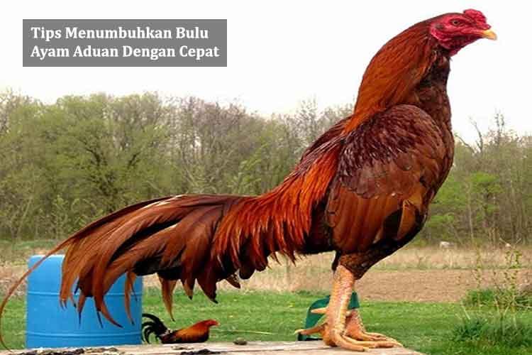 Tips Menumbuhkan Bulu Ayam Aduan Dengan Cepat
