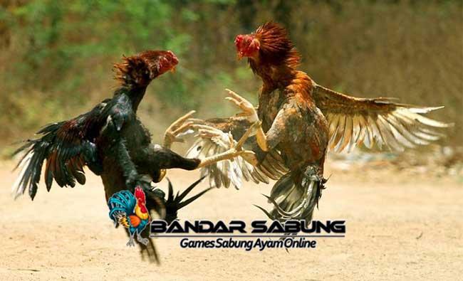 Cara Untuk Menguatkan Bobot Pukulan Ayam Bangkok Aduan