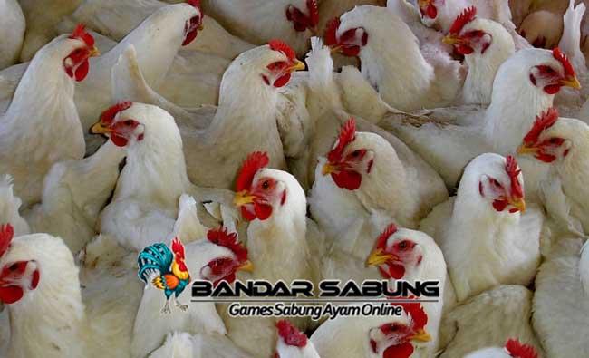 Macam Penyakit pada Ayam ternak