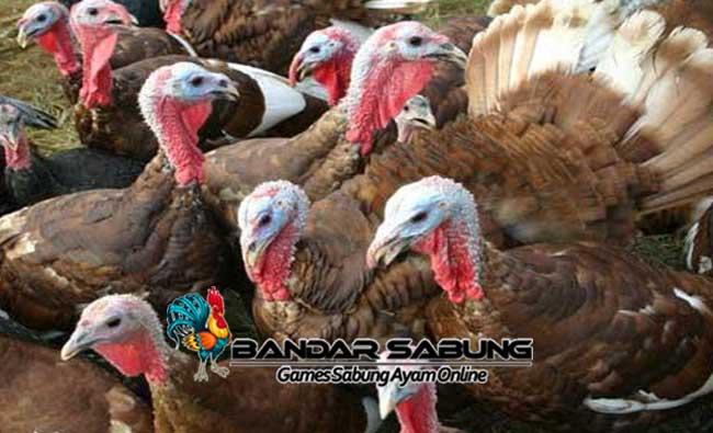 Alasan Mengapa Ternak Ayam Menguntungkan dan mengiurkan