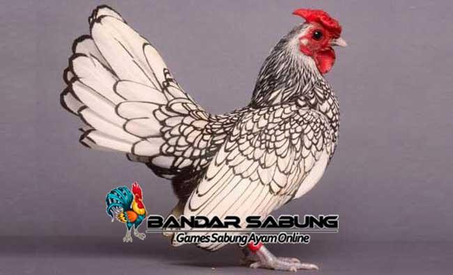 Cara Mudah Ternak Ayam Batik