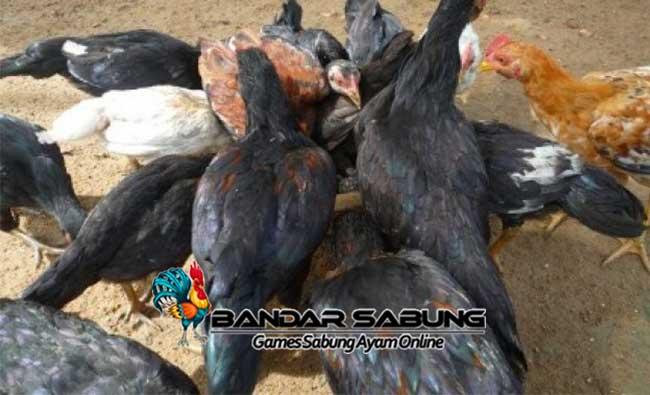 Penyebab dan Cara Mencegah Ayam Bangkok Kanibalisme Bag. 1