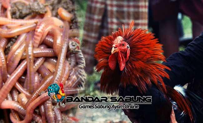 Ternak Cacing Merah Untuk Stamina Ayam Aduan Yang Efektif