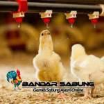Tips Memilih DOC Ayam Petelur Berkualitas Unggul