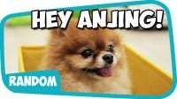 Anjing Anjir Anjay