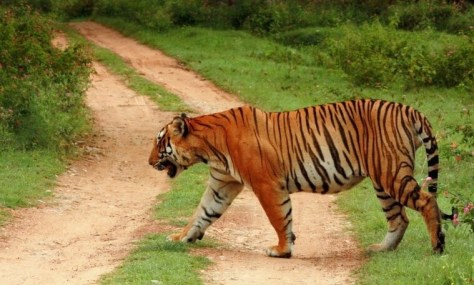 Tiger at Muthodi wild life sanctuary