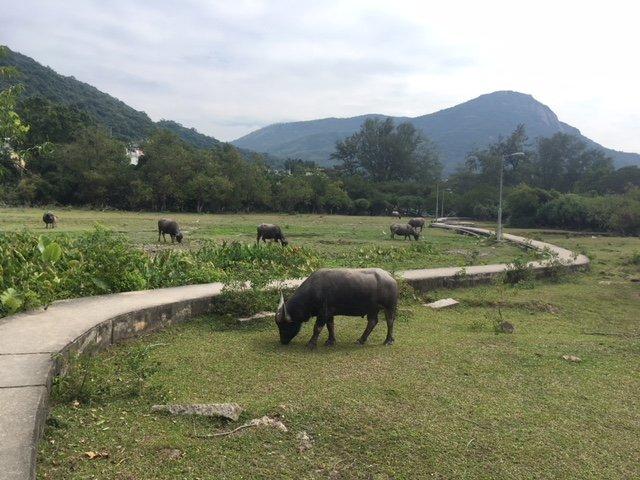Water buffalo Lantau Island
