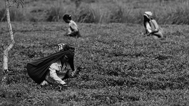 """আপনার কাপে তুফান তুলতে লকডাউনের মধ্যে অনাহারক্লিষ্ট শ্রমিকের """"মেলা"""" বসেছে চা বাগানে"""