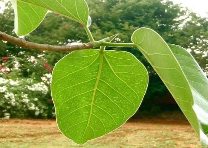 man living on leaves