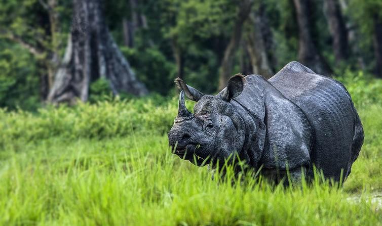 Rhinoceros in Jaldapara