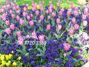 hoa tulip hong