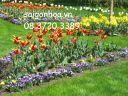 hoa tulip no