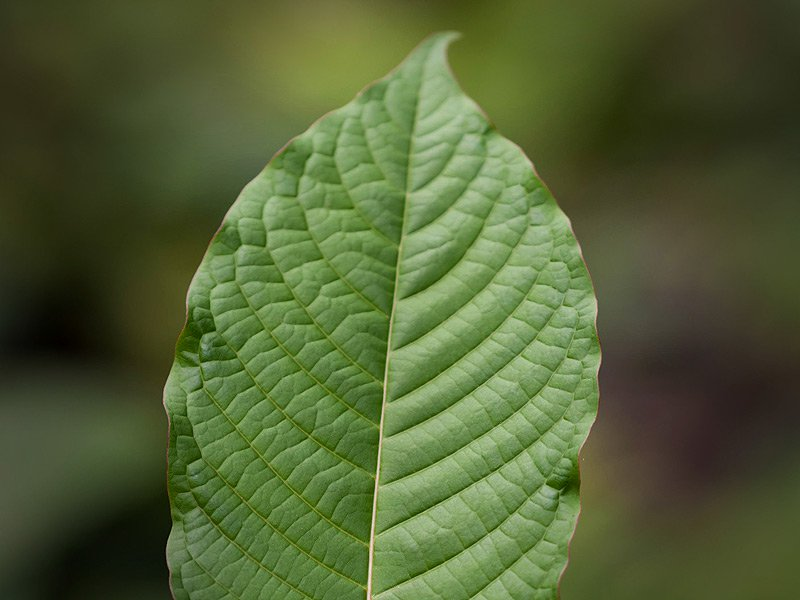 Concern Around Kratom
