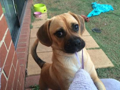 """""""This is my adorable Puggle Heidi , she is about 4 months old now, love her to bits when she behaves ."""""""
