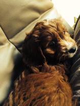 """""""Our family welcomed Jaffa 3 weeks ago! We love him to pieces! You can even follow him on Instagram @ jaffa_the_cavoodle"""""""
