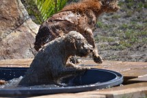 Banksia Park Puppies Playgrounds - 1 of 25 (15)