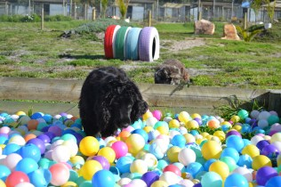 ADULT AGILITY PARK- Banksia Park Puppies - 20 of 117