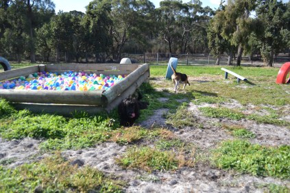 ADULT AGILITY PARK- Banksia Park Puppies - 58 of 117