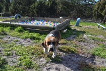 ADULT AGILITY PARK- Banksia Park Puppies - 60 of 117