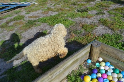 ADULT AGILITY PARK- Banksia Park Puppies - 66 of 117