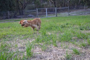 ADULT AGILITY PARK- Banksia Park Puppies - 98 of 117