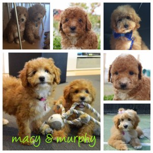 Banksia Park Puppies Macey and Murphy