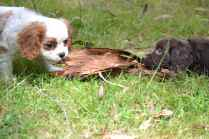 Banksia Park Puppies Bailey and Sylvie