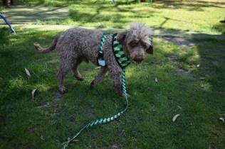 Alvin-Poodle-Banksia Park Puppies - 10 of 31